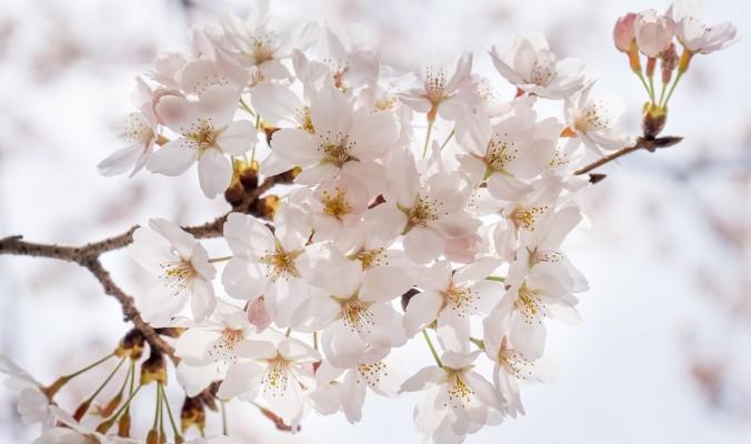 cherry-blossom-1292211_1280