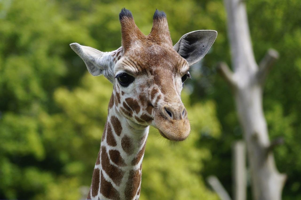 giraffe-844789_1280