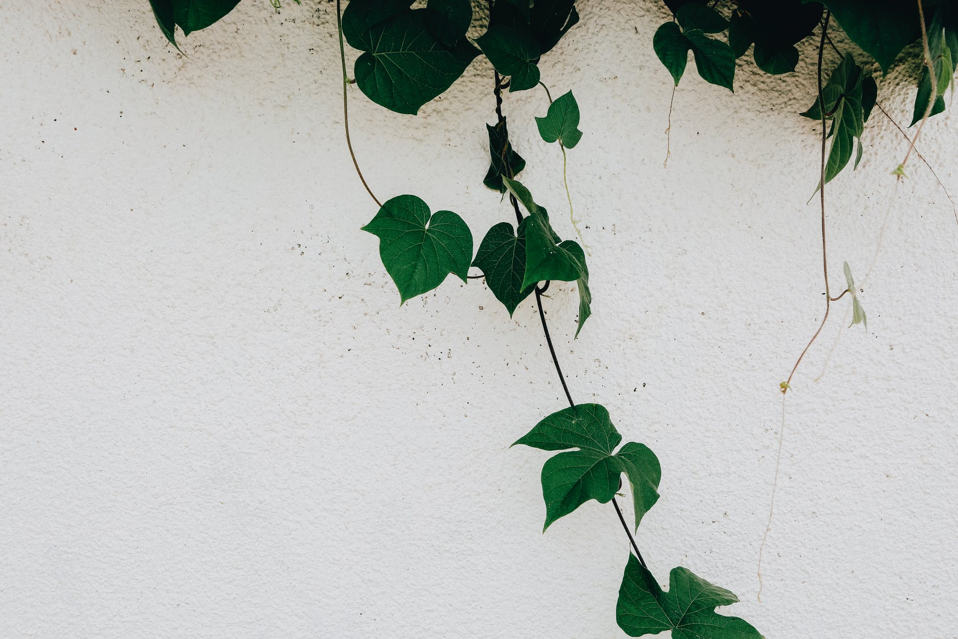 branch of green ivy plant over white wall